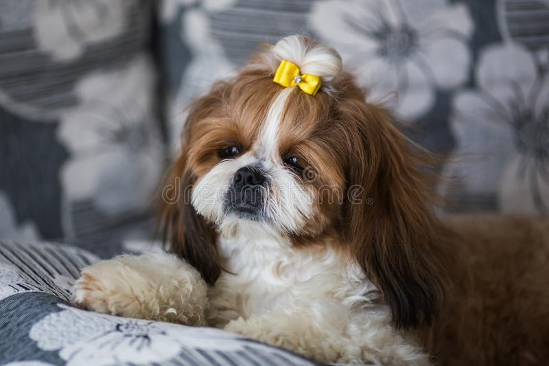 Portrait of a cute puppy dog shih tzu with bow lying on a couch at home royalty free stock photos