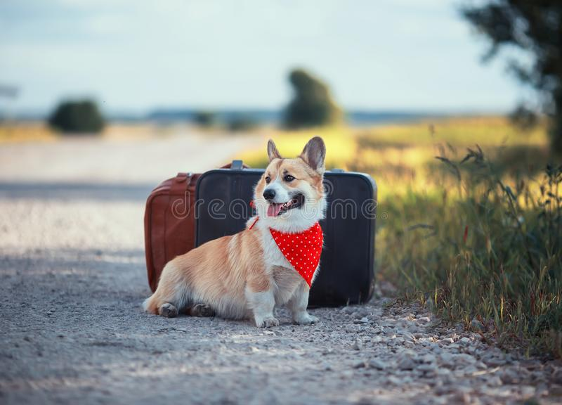 Portrait of cute puppy a red Corgi dog sits next to two old leather suitcases on the road waiting for transport while traveling on. Cute puppy a red Corgi dog stock photo