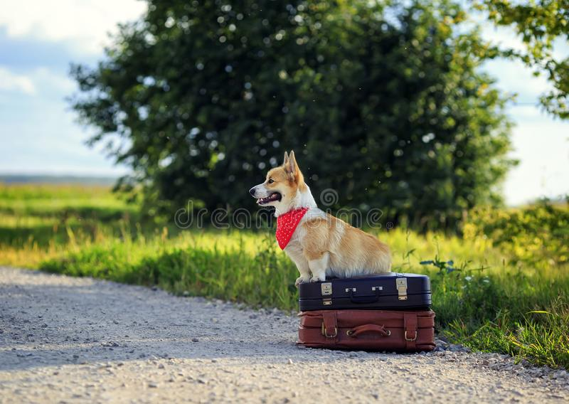 Portrait of cute puppy a red Corgi dog sits on a pair of old leather suitcases on the road waiting for transport while traveling. Cute puppy a red Corgi dog sits stock photography