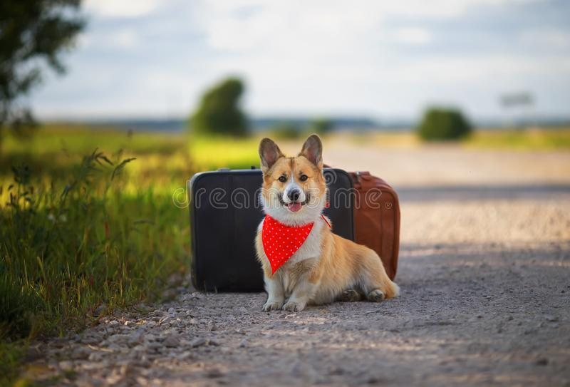 Portrait of cute puppy red Corgi dog sitting next to two old leather suitcases on the road waiting for transport while traveling stock photography