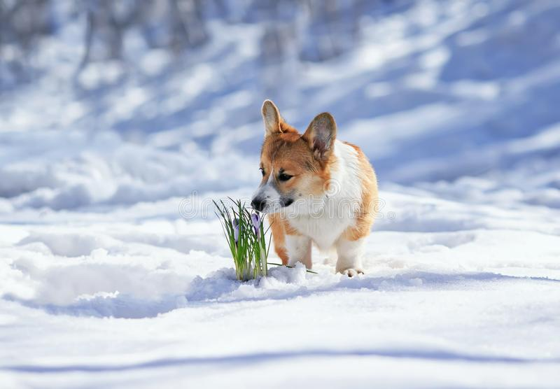 Beautiful portrait of cute puppy red Corgi sniffing lilac flowers crocuses making their way from under the snow in the spring. Portrait of cute puppy red Corgi royalty free stock images