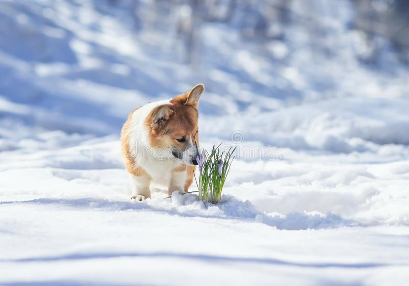 Beautiful portrait of cute puppy red Corgi sniffing lilac flowers crocuses making their way from under the snow in the spring. Portrait of cute puppy red Corgi stock image
