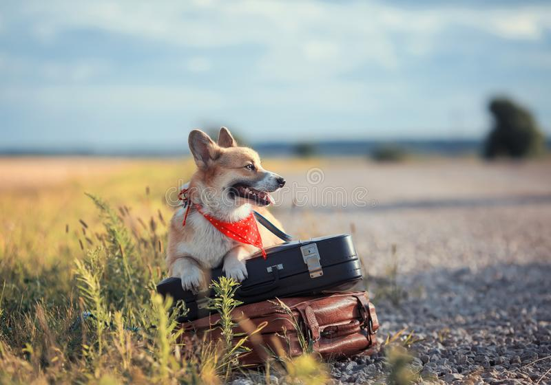 Portrait of cute puppy red dog Corgi lies on the side of the road on two old leather suitcases on the road waiting for transport. Puppy red dog Corgi lies on the royalty free stock image