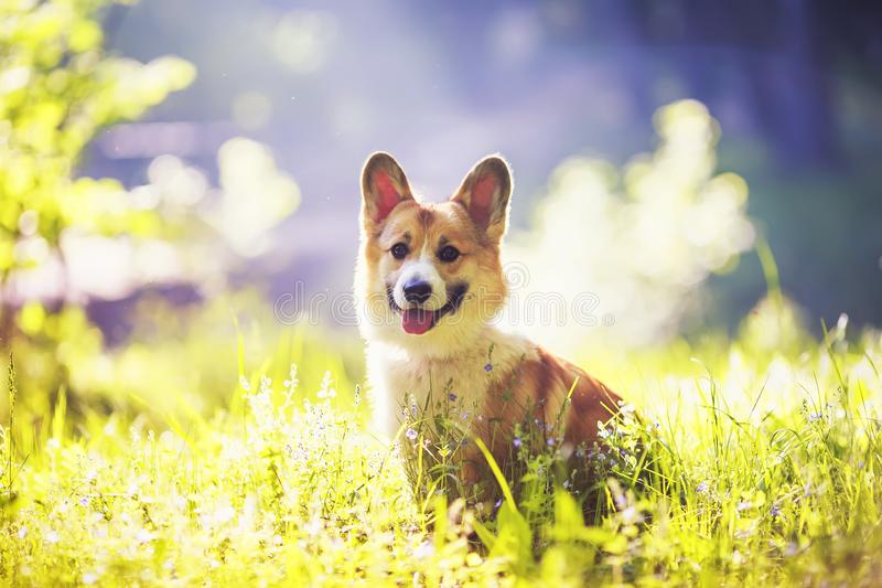 Portrait of cute puppy red dog Corgi sitting on a warm summer meadow with flowers on a background of bright Golden sunlight royalty free stock photo