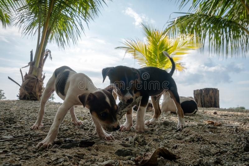 portrait of a cute purebred chihuahuas on the beach royalty free stock photos