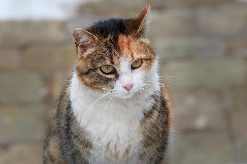 Portrait of beautiful little cat. Portrait of cute purebred domestic little cat looking right at the camera stock photos