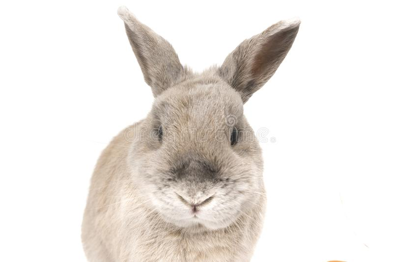 Portrait of a cute rabbit gray with splayed ears isolated on white background royalty free stock photography
