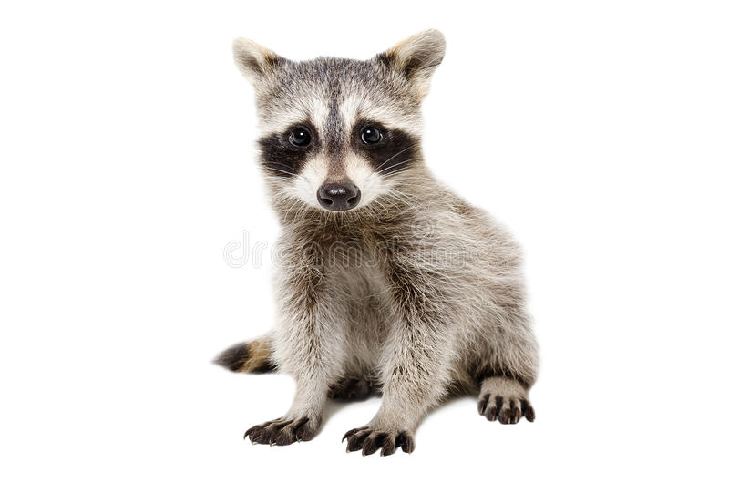 Portrait of cute raccoon stock photos