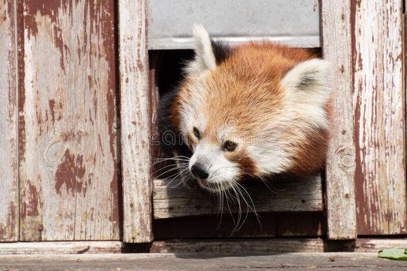 Portrait of a cute red panda sticking his head. In a wooden house royalty free stock image