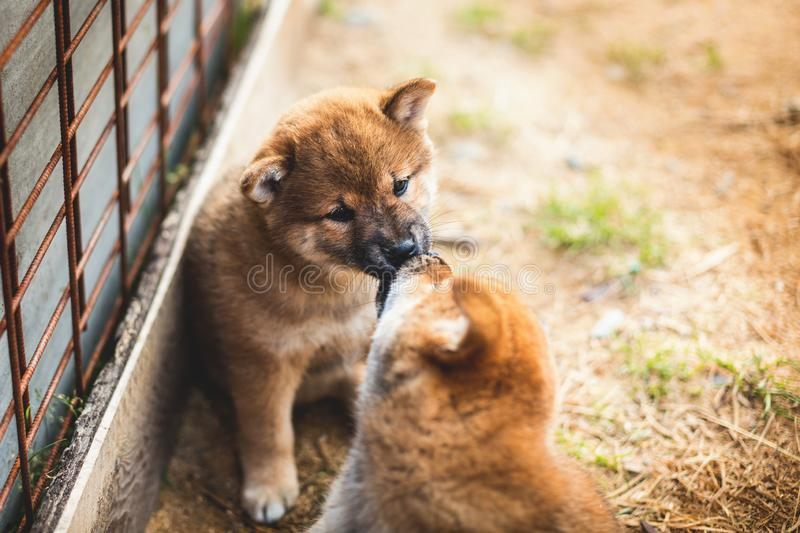 Portrait of cute red shiba inu puppy sitting and kissing its brother. Portrait of cute red japanese shiba inu puppy kissing its brother in the aviary royalty free stock image