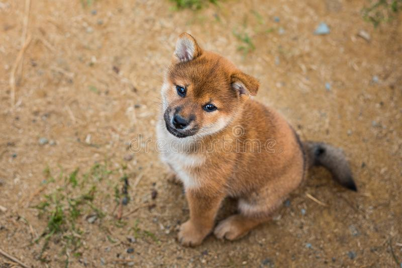 Portrait of cutered shiba inu puppy sitting outside on the ground and looking to the camera. Portrait of cute red shiba inu puppy sitting outside on the ground stock image