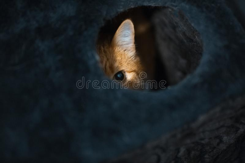 Portrait of cute red white cat hiding of black box.  royalty free stock photo