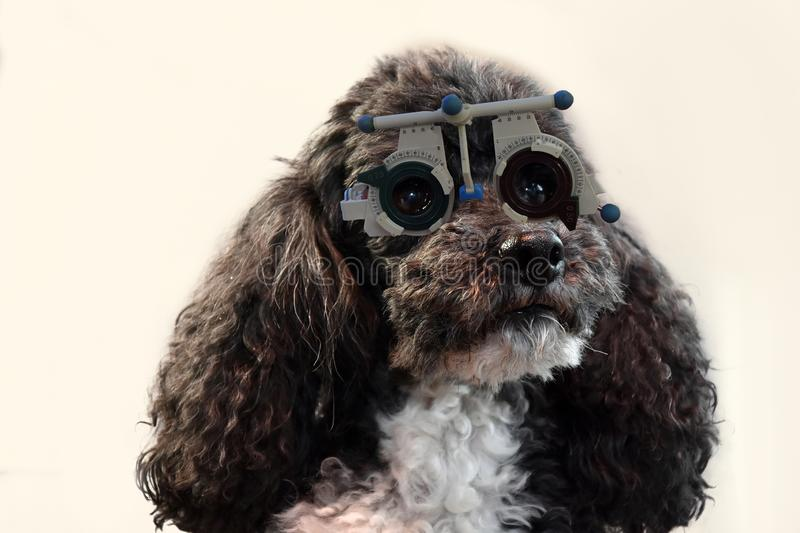 Harlequin poodle at the optician checking his eyesight. Portrait of a cute seven years old harlequin poodle with trial frame at an optician shop. He checks his stock images