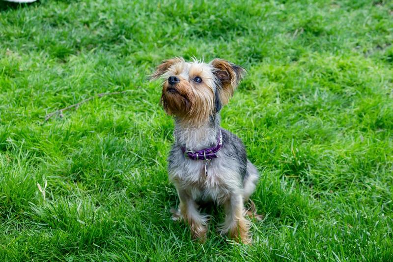 Portrait of cute silky terrier dog in a green grass field royalty free stock photos