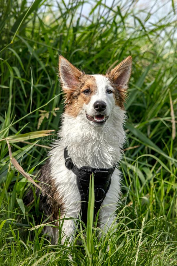 Portrait of a cute sitting dog, spotted mixed-breed in front of. Green reeds stock images