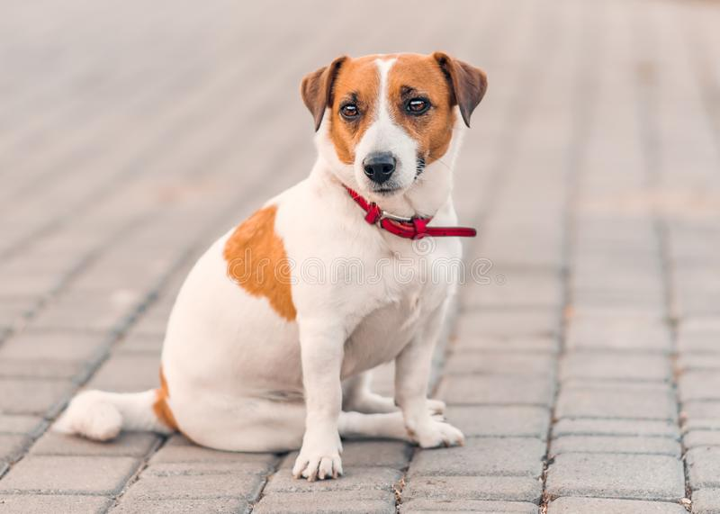 Portrait of cute small dog jack russel terrier sitting outside on gray paving slab at summer day. Front of adorable pet royalty free stock photo