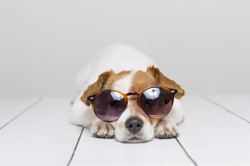 Portrait of a cute small dog wearing modern sunglasses. White background. Pets indoors, home or studio, lifestyle. Summer stock photography