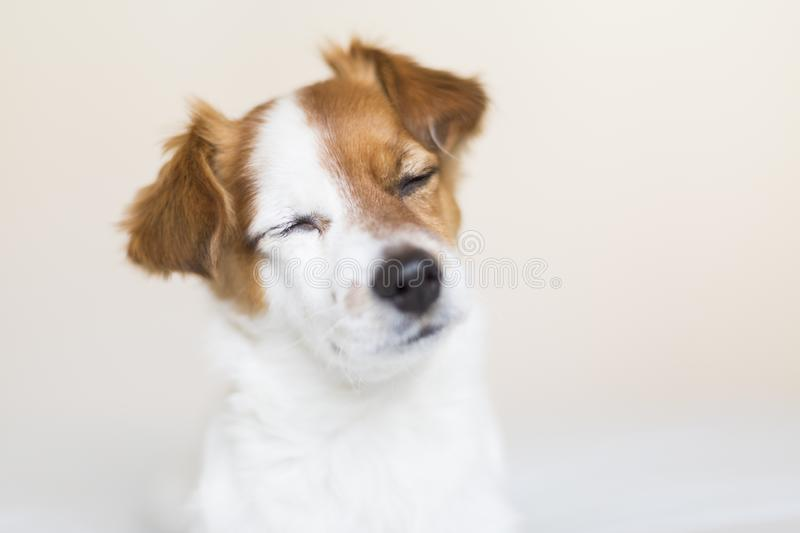 portrait of a cute small white and brown dog sitting on bed with eyes closed, he is feeling tired or sleepy. Pets indoors. White royalty free stock images