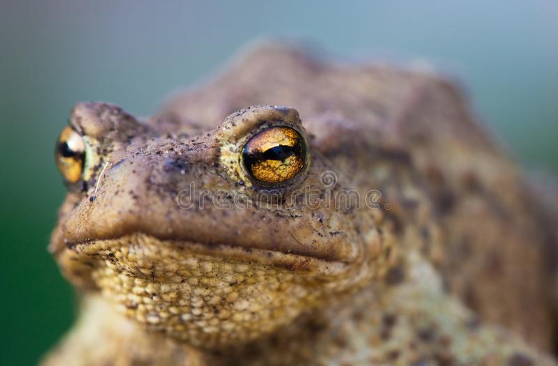 Portrait of cute spadefoot toad with bright yellow eyes looking at the camera. Eastern spadefoot toad on green and blue royalty free stock photos