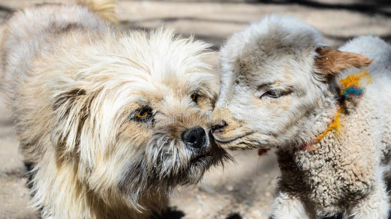 Portrait of a cute stray dog and sheep kissing each other with bokeh. Portrait of a cute stray dog and sheep kissing each other royalty free stock photos