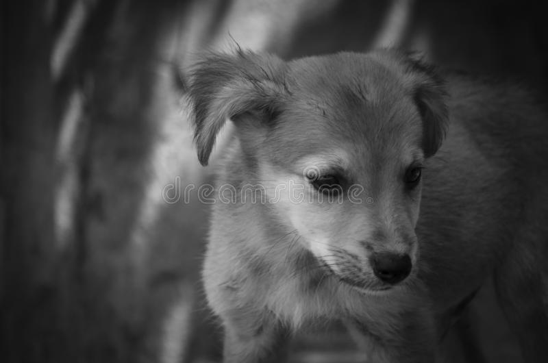 Very cute little puppy. Close-up. Monochrome stock photo