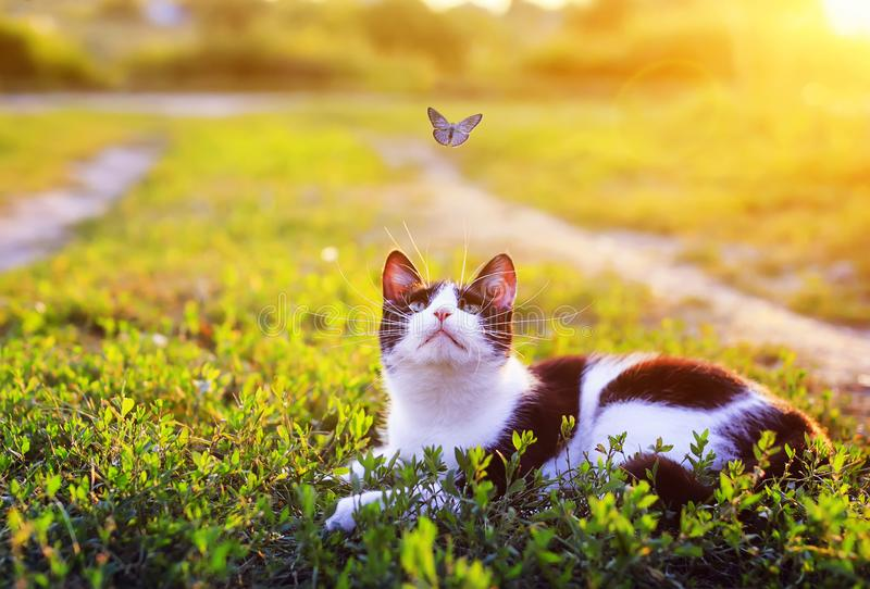 Portrait of a cute striped cat lying in the grass in a Sunny meadow and looking at a beautiful little blue butterfly flying stock images