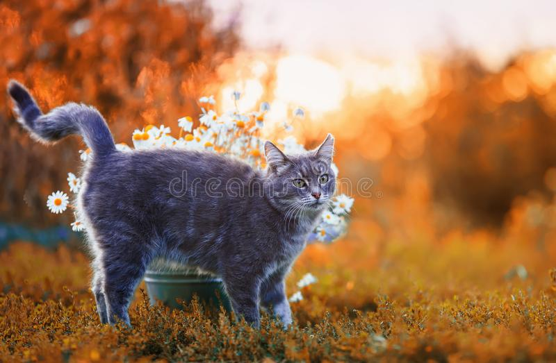 Portrait of a cute striped cat strolling by raising its tail in the autumn garden nearby with a bouquet of daisies against the. Sunset royalty free stock images