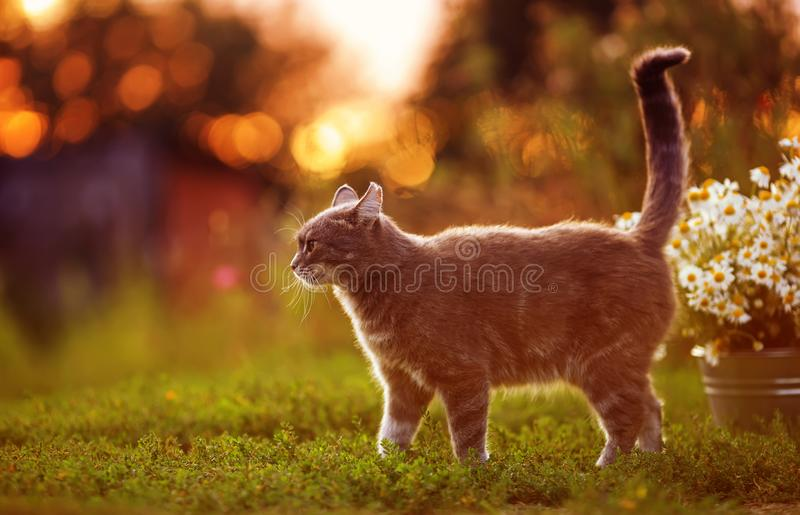 Portrait of a cute striped cat strolling by raising its tail in the autumn garden nearby with a bouquet of daisies against the. Cute striped cat strolling by royalty free stock image