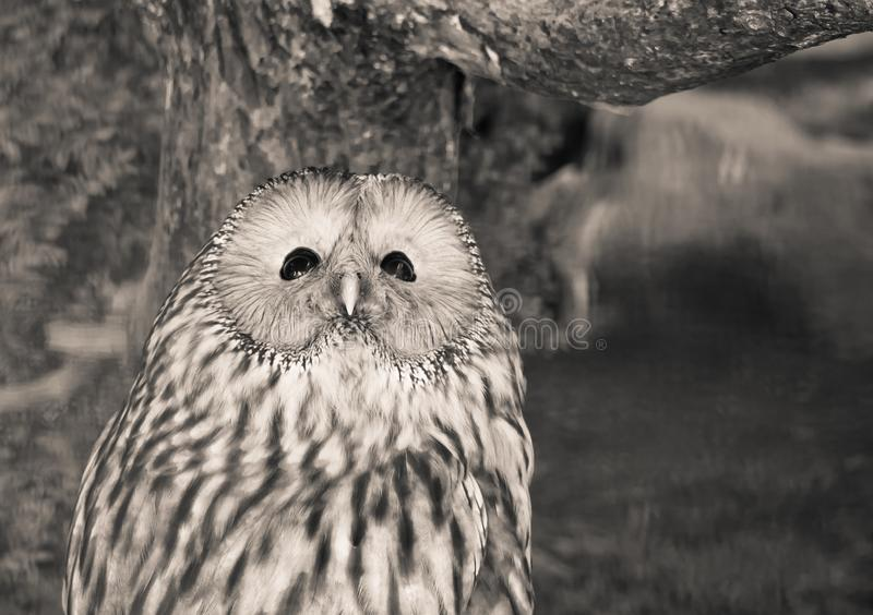 Portrait of cute ural owl day dreaming in black and white sepia. Slovenia stock photo