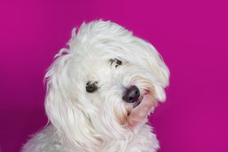 PORTRAIT CUTE WHITE MALTESE DOG TILTING ITS HEAD ON PINK BACKGRO royalty free stock images