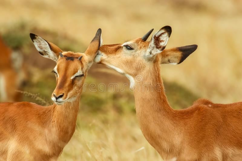 Whisperers ;- A close-up of two Impala from Kenya. stock image