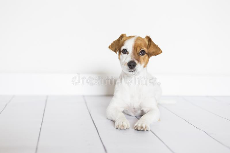 Portrait of a cute young small dog lying on the white wood floor royalty free stock photo