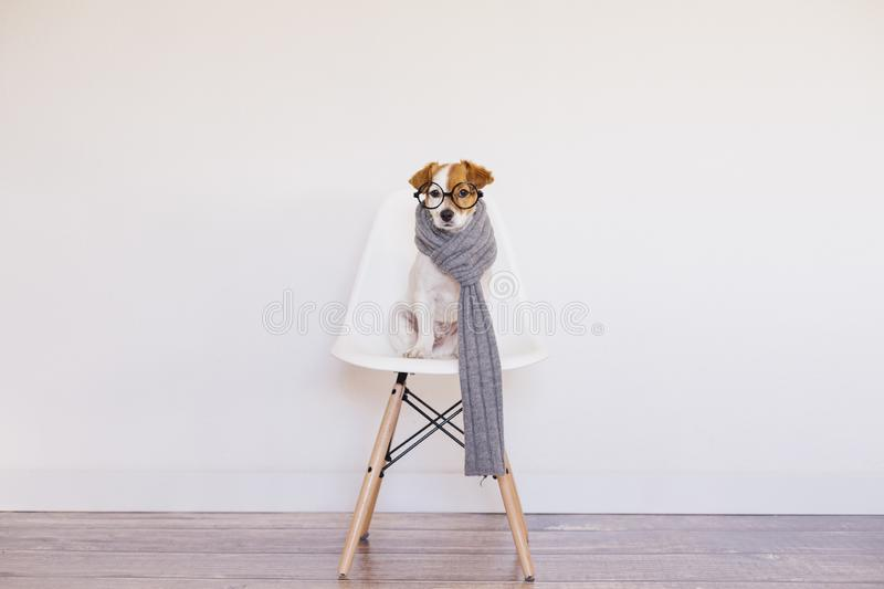 Portrait of a cute young small dog sitting on a white modern chair. Wearing grey scarf and glasses. He is looking at the camera, stock images