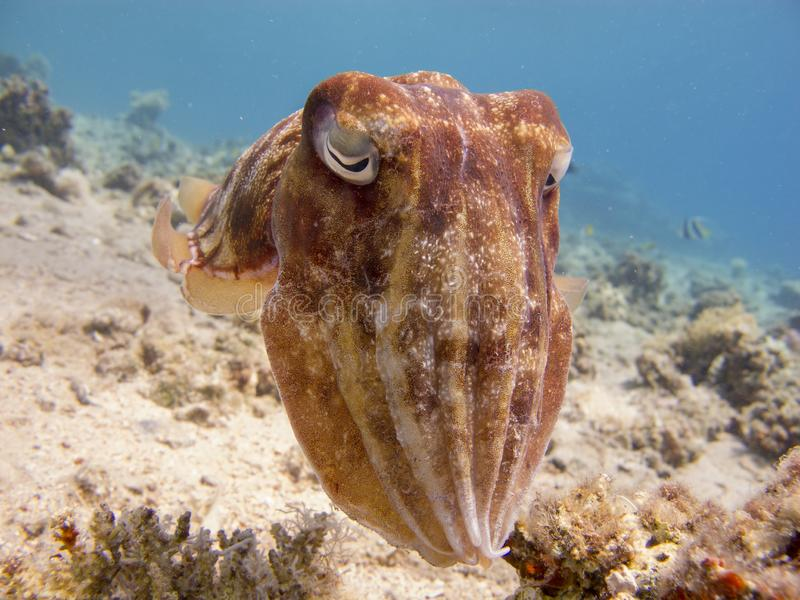 Portrait of a Cuttlefish Sepia swimming in clear blue water. Close up of a cuttlefish - underwater at divesite Bannerfish Bay in Dahab, Egypt royalty free stock photography