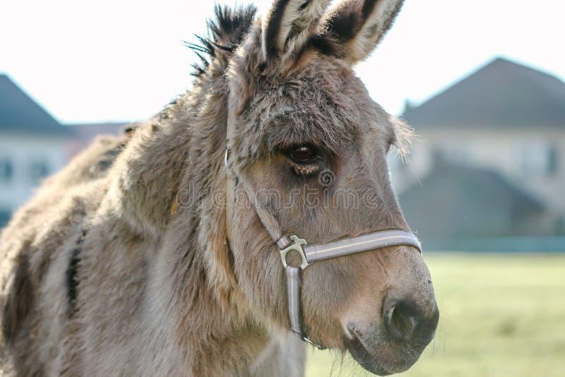 Portrait d'âne sur un champ photo stock