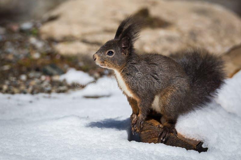 Portrait d'écureuil avec la neige photographie stock