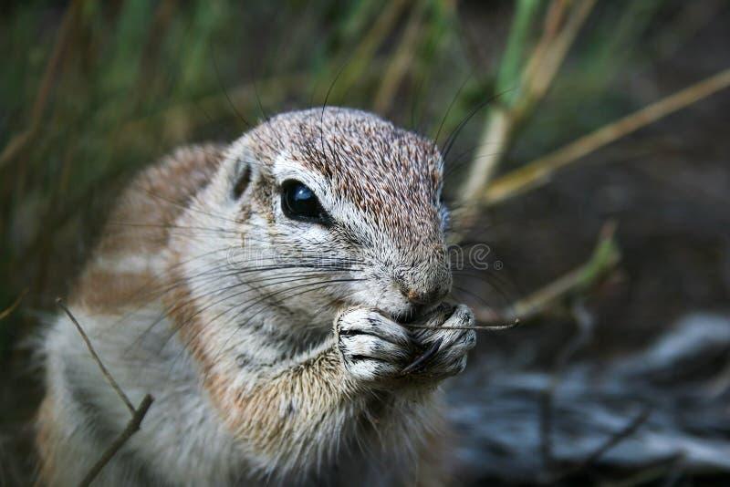 Portrait d'écureuils terrestres du Cap, Xerus inauris mangeant dans le Kgalgadi Transborder Park, Afrique du Sud Arrière-plan ver photographie stock libre de droits