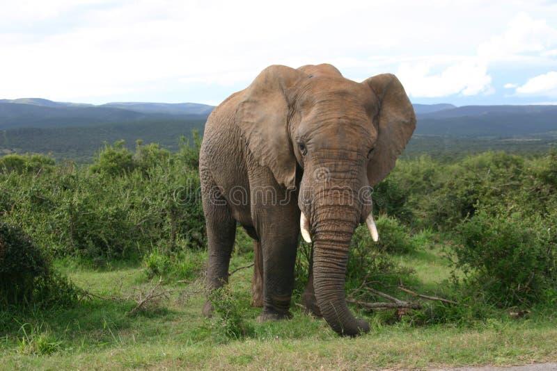 Portrait d'éléphant en montagnes photographie stock