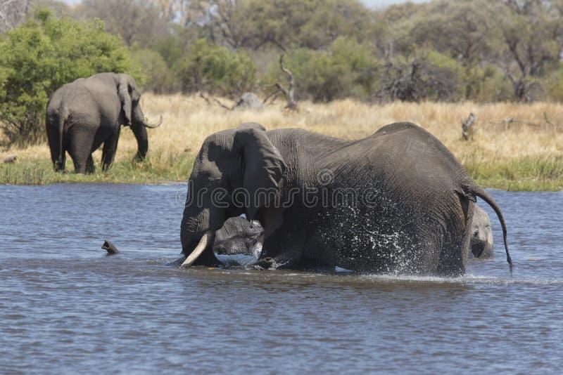 Portrait d'éléphant gratuit sauvage images libres de droits