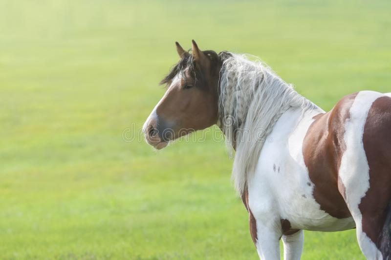 Portrait d'été du cheval Paint à la crinière longue au coucher du soleil photos libres de droits