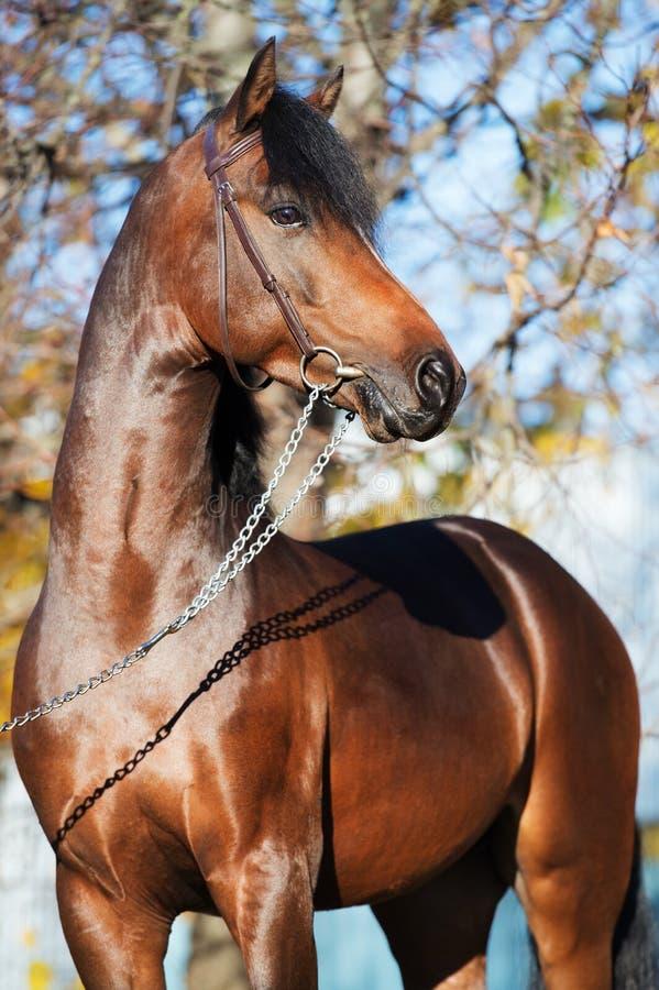 Portrait d'étalon folâtre de poney de gallois de baie foncée images stock