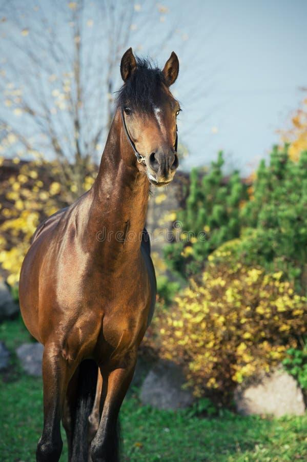 Portrait d'étalon folâtre de poney de gallois de baie foncée photographie stock libre de droits