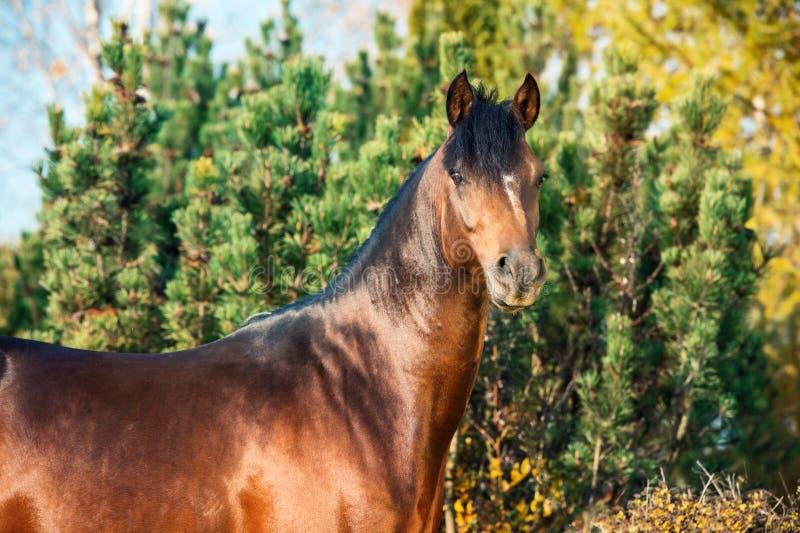 Portrait d'étalon folâtre de poney de gallois de baie foncée photographie stock