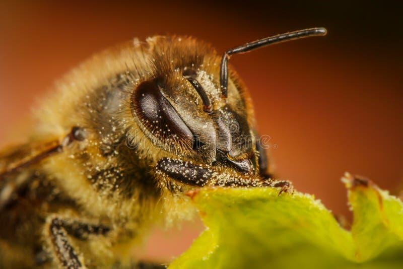Portrait d'abeille images libres de droits