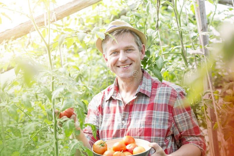 Portrait d'agriculteur de sourire moissonnant les tomates organiques à la ferme photos stock