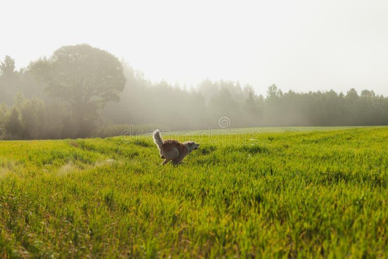Portrait d'Akita Inu dans un domaine de blé vert en été photo libre de droits