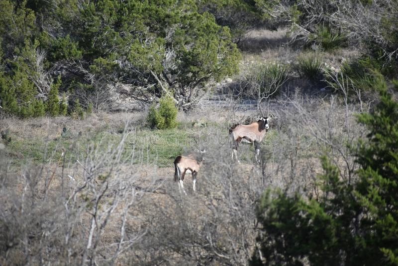 Portrait d'antilope de Gemsbok photographie stock libre de droits
