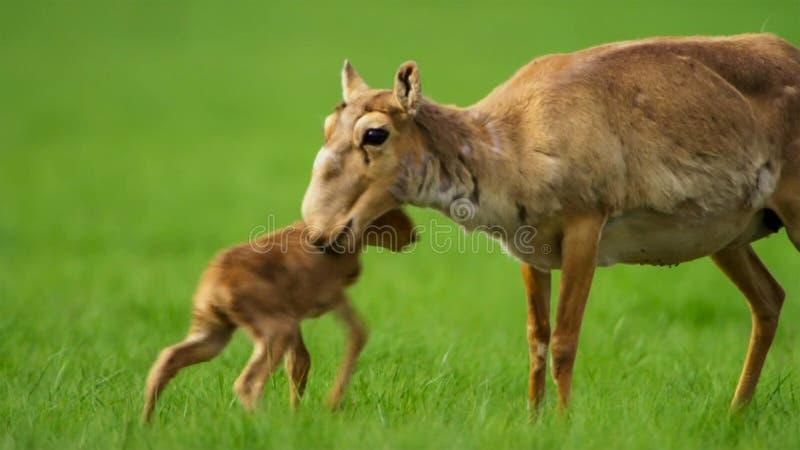 Portrait d'antilope de saiga de bébé avec la mère et le troupeau images libres de droits