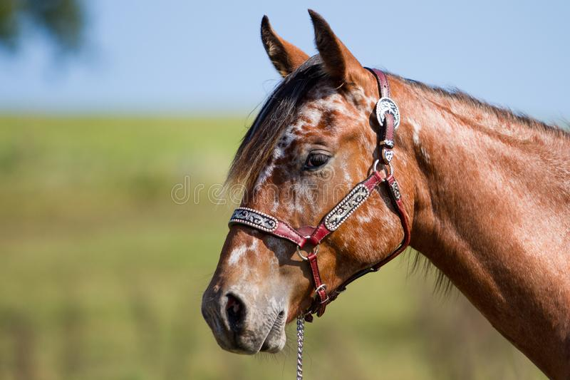 Portrait d'Appaloosa de cheval photos libres de droits