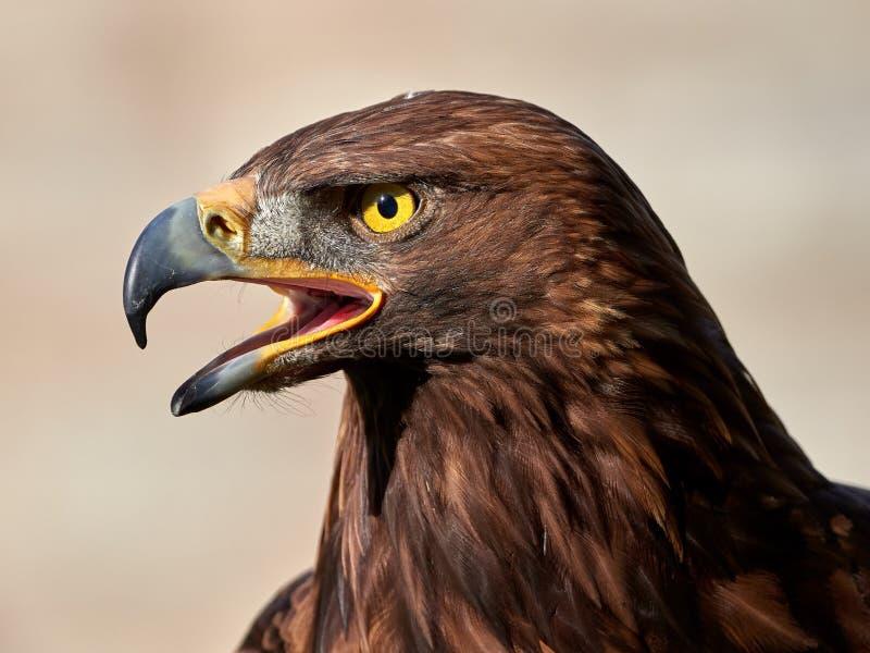 Portrait d'or de chrysaetos d'Eagle Aquila photographie stock